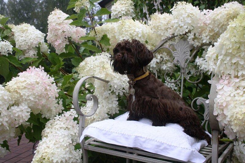 Дивный сад, роз и гортензий и болонок! Не знаю кем любоваться?