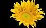 «AD_Sunflower_summer»  0_8c795_9b60bf88_S