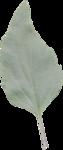 cvd inner storm salvia leaf 1.png