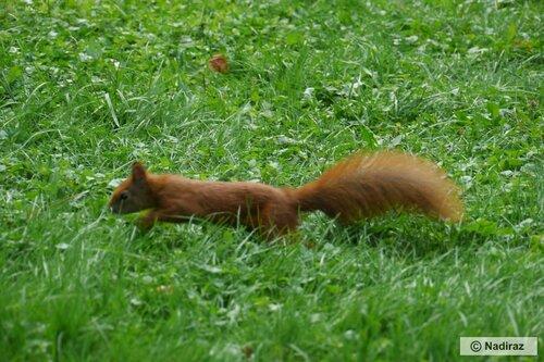 Белка бежит по своим делам в королевском парке.
