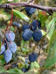 Барбарис, ветка с плодами