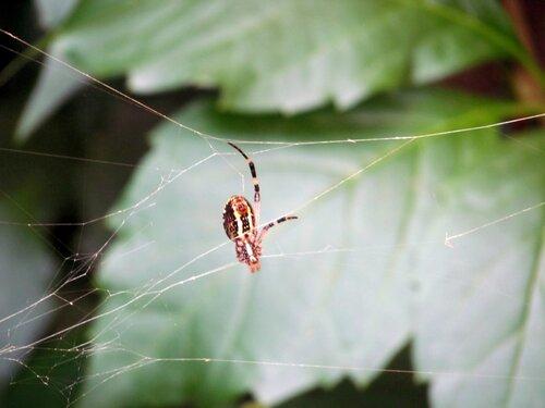 паук-оса Аргиопа Брюнниха