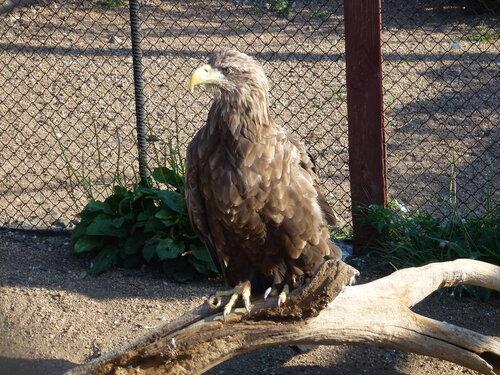 Этот орлан живет в клетке Хинганского заповедника, он потерял крыло