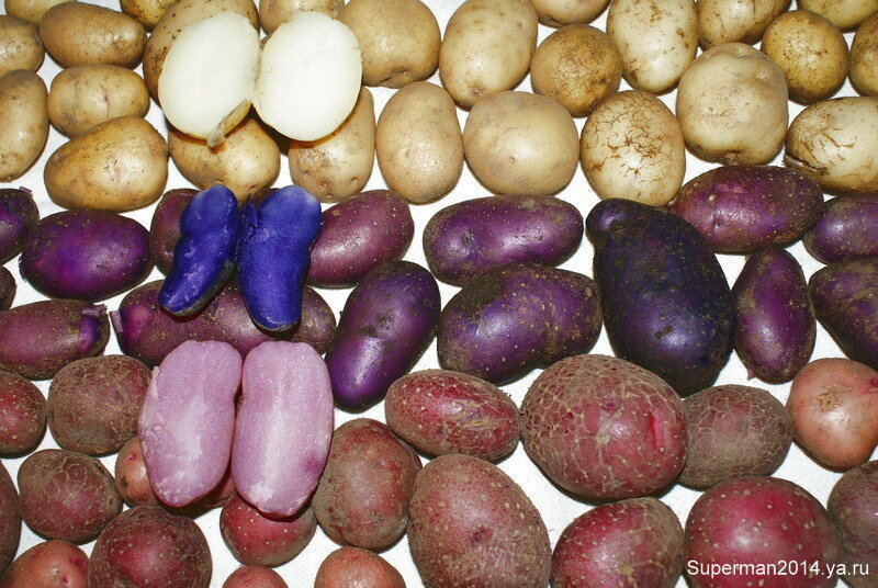 А на Кудыкиной горе... Картошечка цветная...