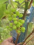 Виноград 31 августа 2012.JPG