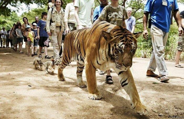 Тигрюли с малолетними детьми проходят без очереди!
