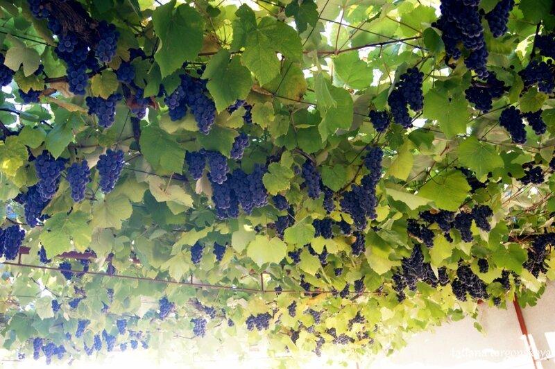 Требиньский виноград