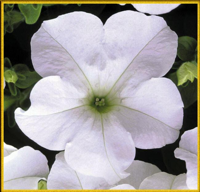 біла петунія