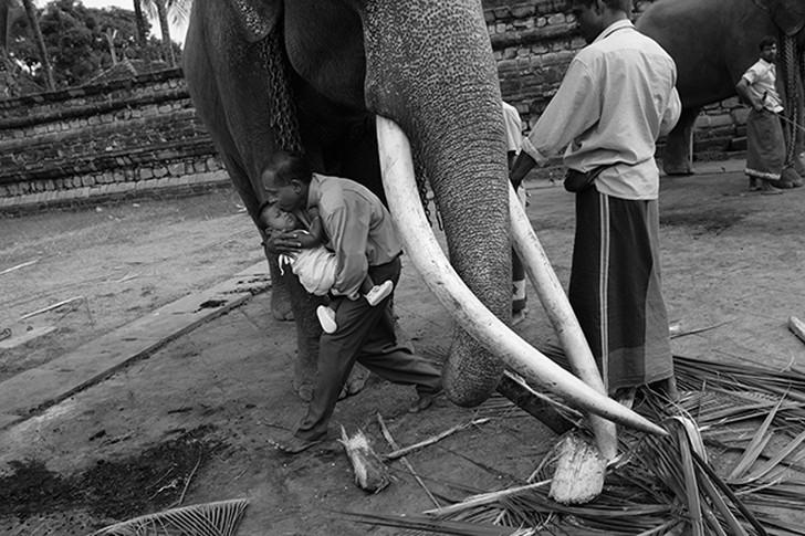 14. На Шри-Ланке считается доброй приметой пройти под слоном со своим ребенком.