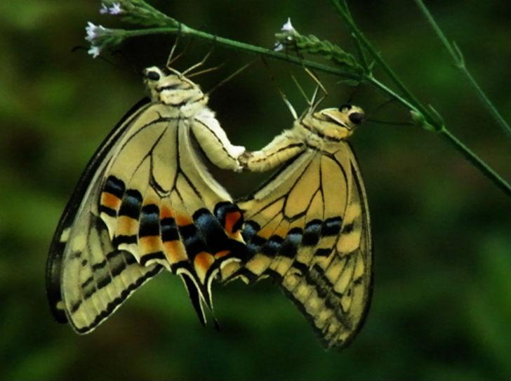 У бабочек все воздушно и легко. Важную роль во взаимном притяжении партнеров играют феромоны, форма