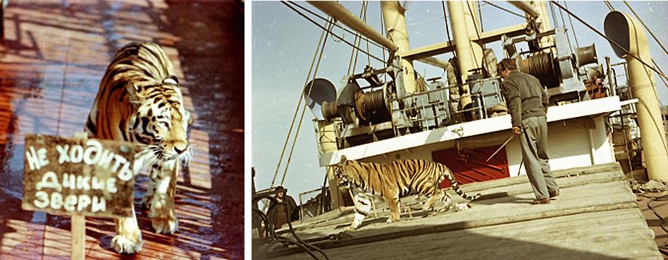 В фильме играли 10 цирковых тигров. Долго искали обезьяну — чтобы была умная и поддающаяся об