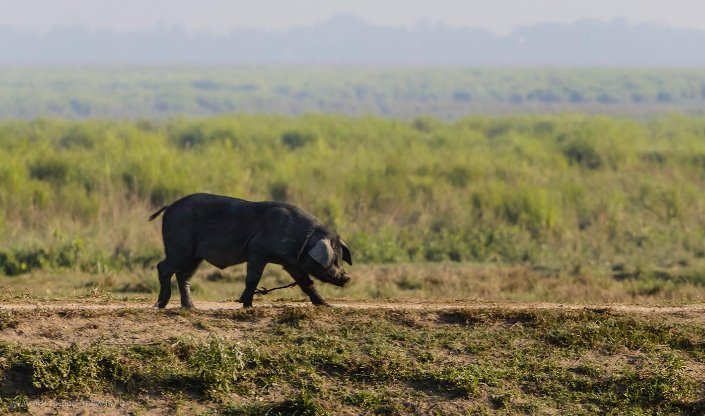 Фото 17. Домашняя свинья в обители бенгальских тигров. Отзывы о сафари в парке Казиранга. 1/800, -0.67, 5.3, 200, 195.