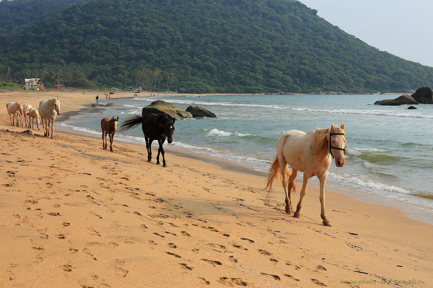Фото 2. Кони - подарок А. Никитину на пляже Агонда в Южном Гоа. Отдых о самостоятельном путешествии в Индию в октябре (24-70, 1/320, 0eV, f9, 55 mm, ISO 100)