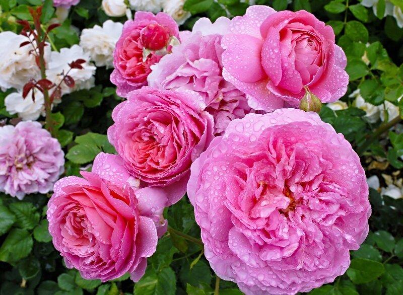 Розы в хрустальных капельках....