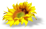 «AD_Sunflower_summer»  0_8c793_7974113b_S