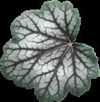 cvd inner storm variegated leaf.png