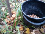 В этом году опята растут в основном на осине