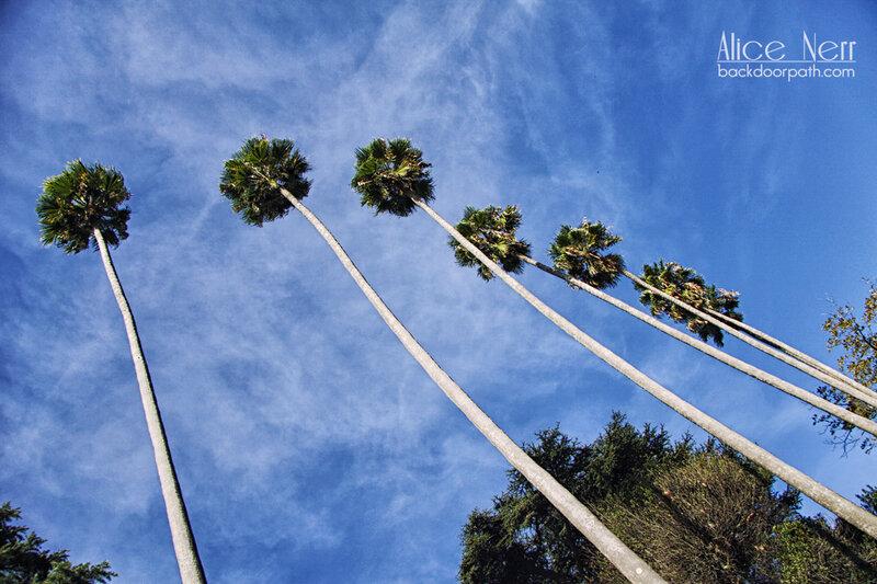 португальская растительность, высокие пальмы в Порту