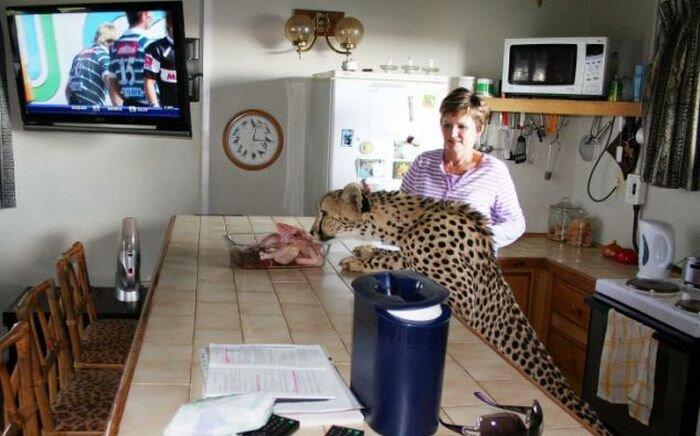 Домашний гепард