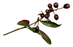 Renadesigns_forestfruits_el14.png