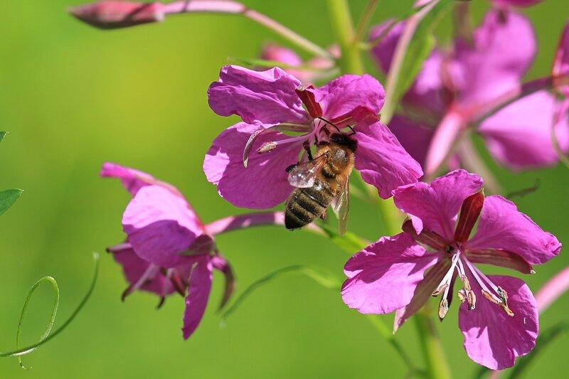 Пчела собирает нектар с цветков иван-чая