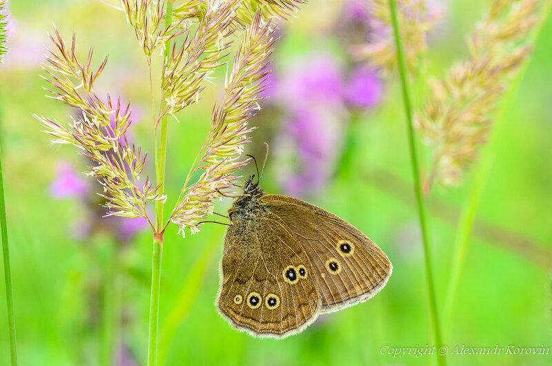 Сатир цветочный (Aphantopus hyperantus)