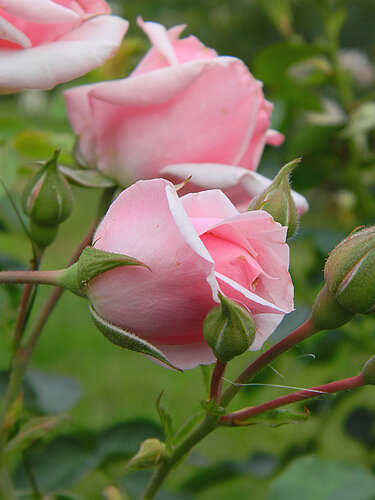 Розовый запах лета