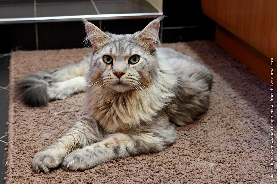 кот мейн-кун фото