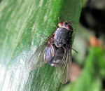 Золотистая муха.jpg