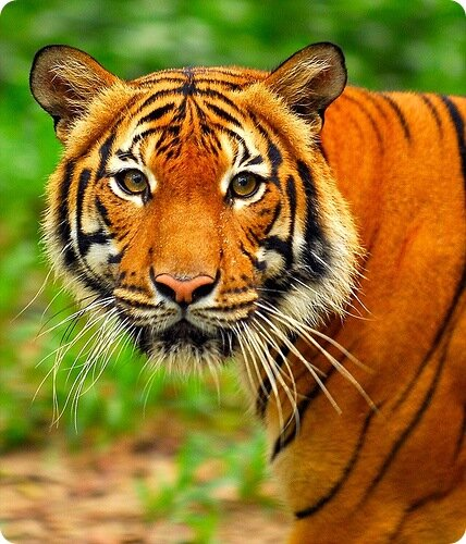 картинки тигры: