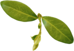 priss_strangebeauty_leaves3.png