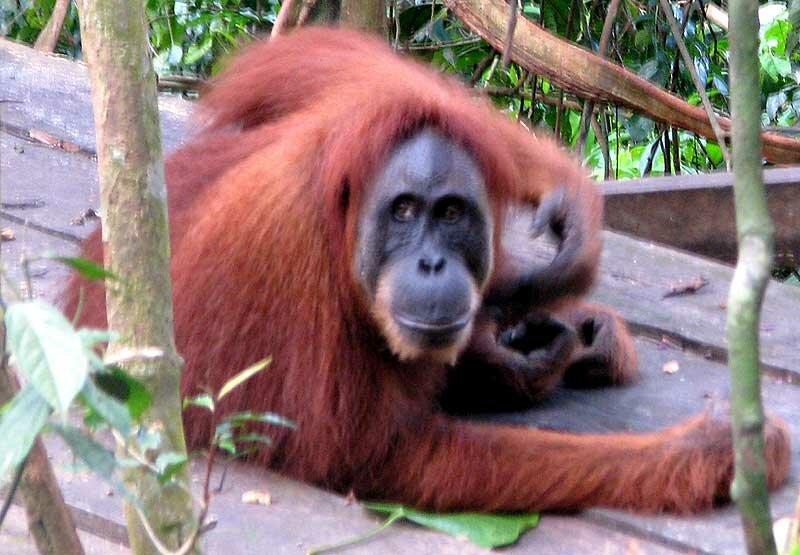 Орангутаны Суматры (Т.Михайленко)