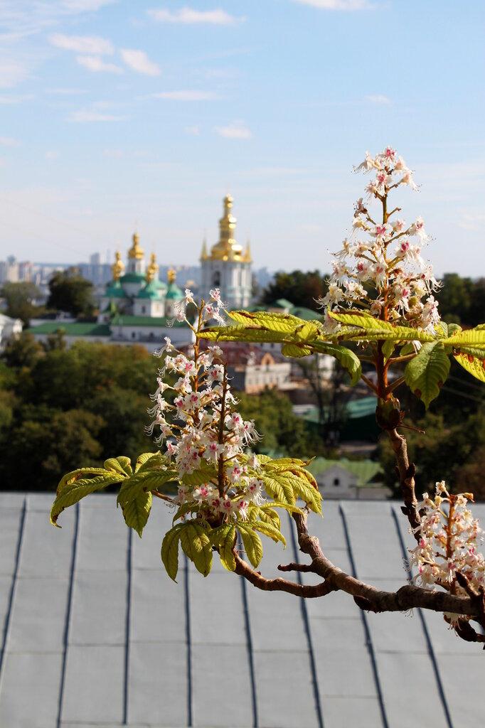 Цветущий каштан в сентябре
