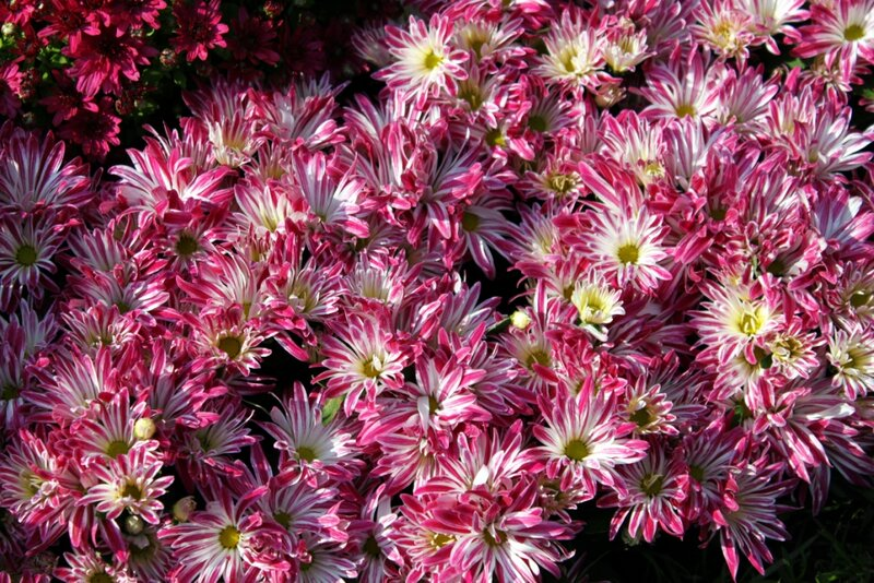 Необычная расцветка хризантем