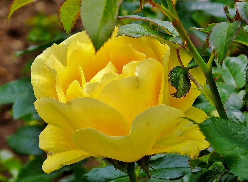 роза сентября