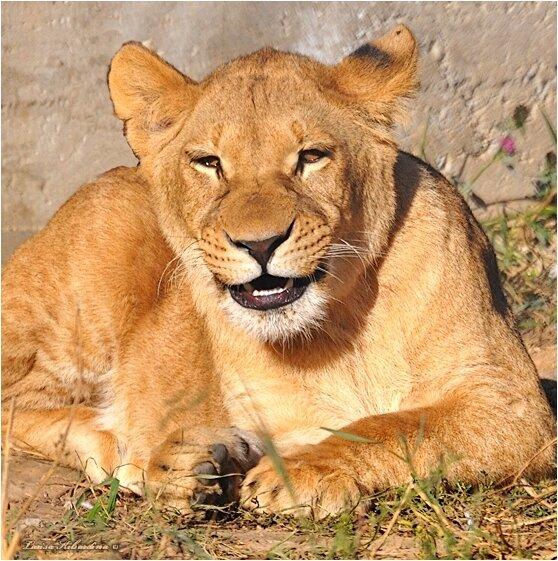 Улыбка львицы