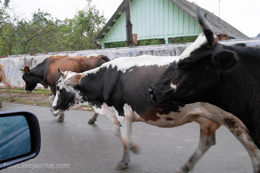 Местные коровы: первая встреча с деревенским стадом на автотрассе.