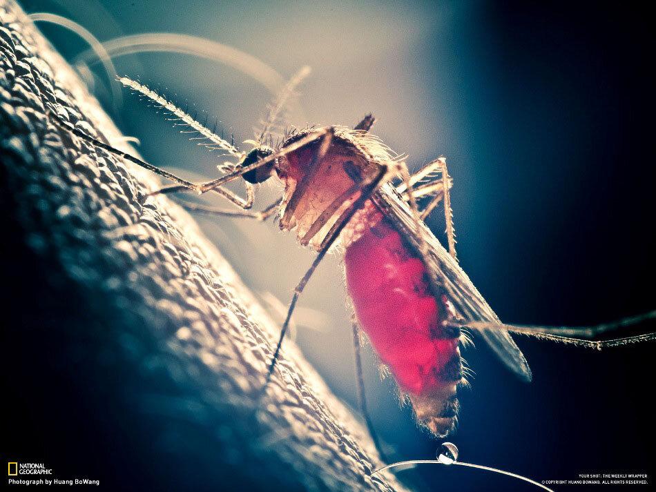 Комар, кусающий меня
