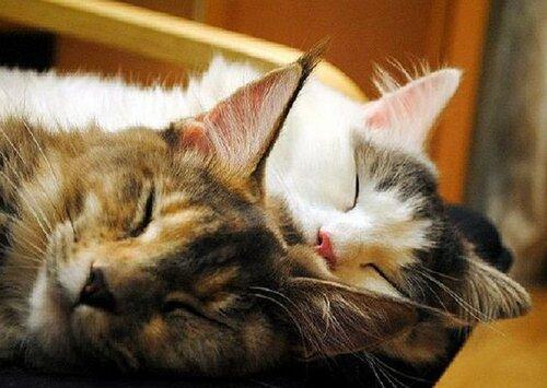 Как спят кошки