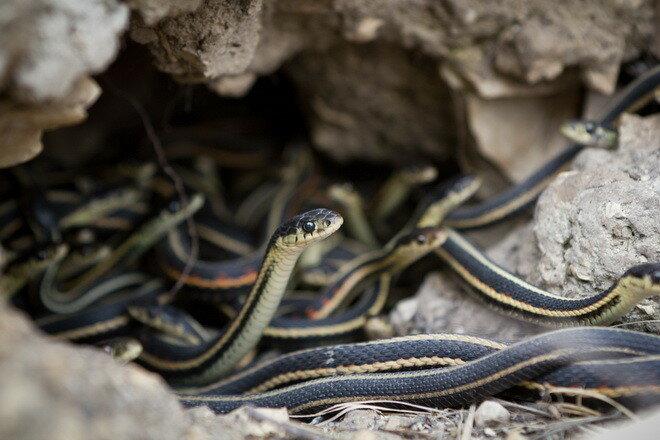 Змеиные ямы Нарсисса. Канада