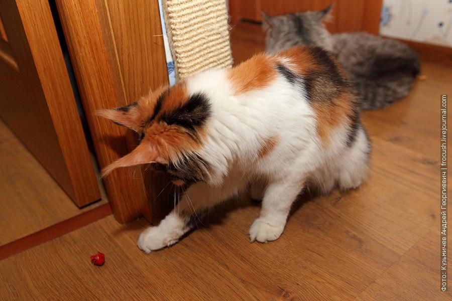 черепашка кошка мейн кун