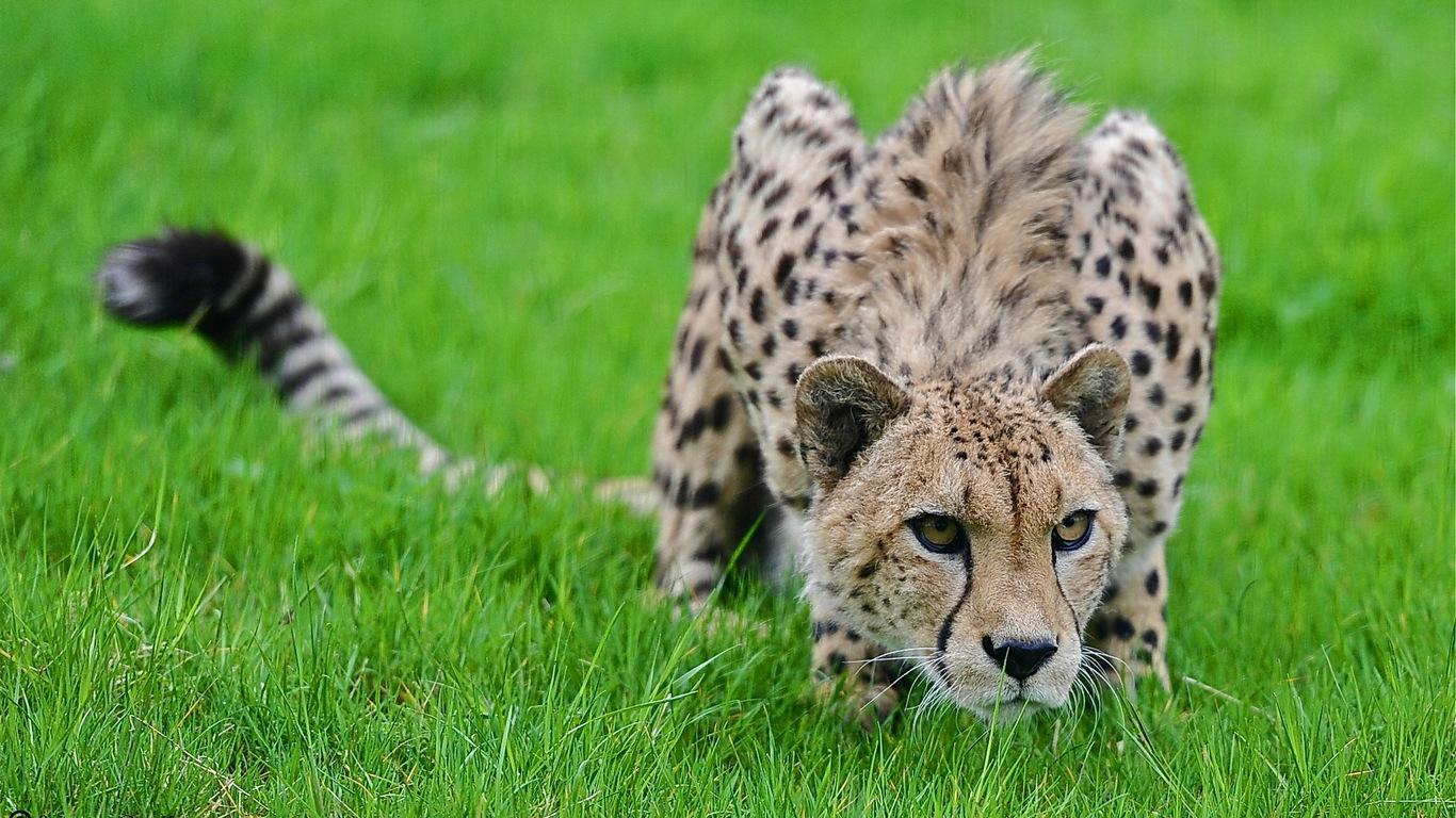 гепарда в хорошем качестве