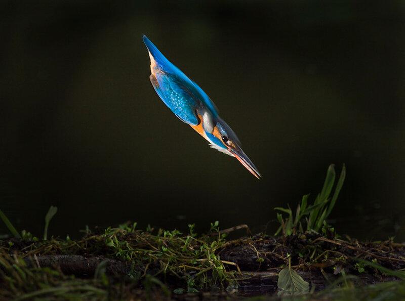 Голубая пуля | Ныряющий зимородок