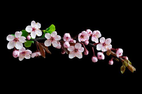 «Marta_FloweringCherries» 0_90296_8641ca4e_L