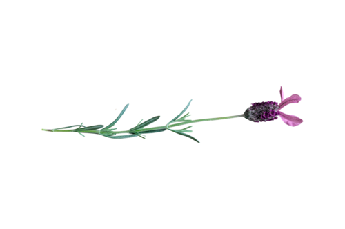 «Marta_FloweringCherries» 0_90299_1578d5ae_L