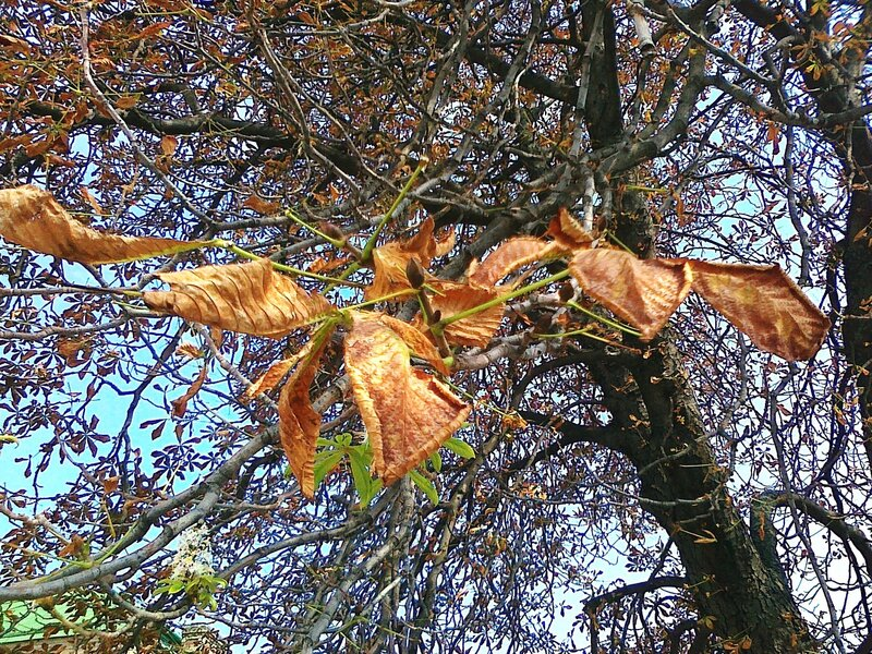 Сухая листва на каштане