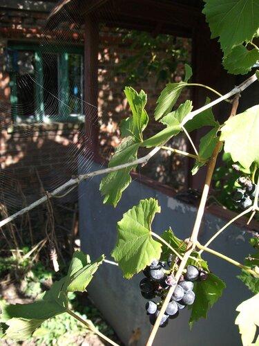 Виноград и паутина