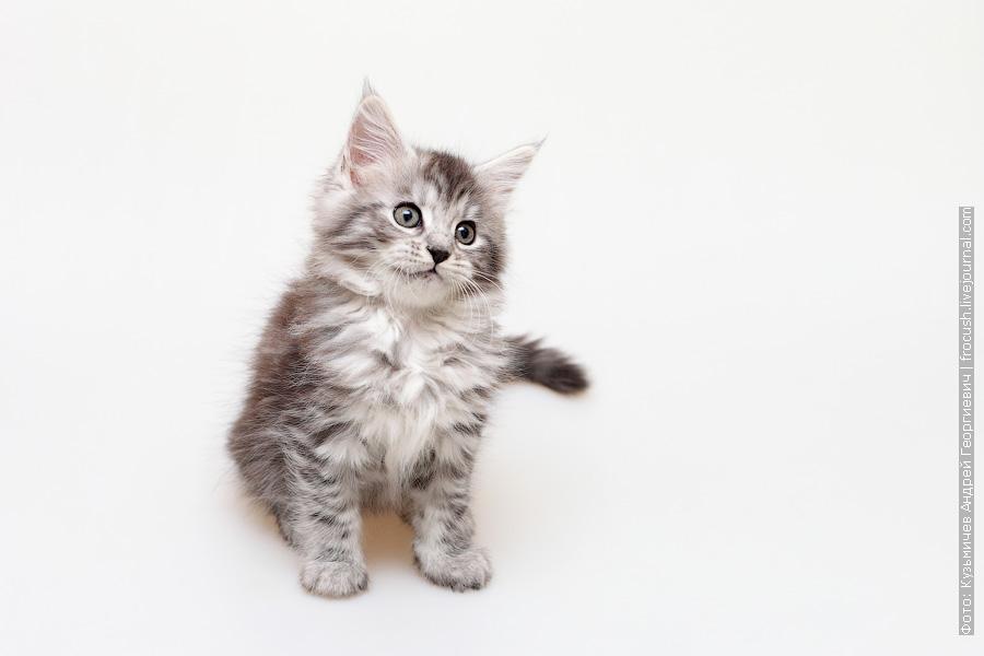черный серебряный котенок Мейн-кун