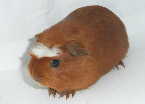 Self crested guinea pig
