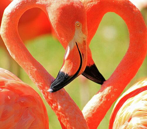 Розовое сердце фламинго